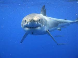 Name:  Great White shark looks like a Box!.jpg